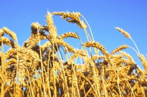 America: For Amber Waves of Grain?